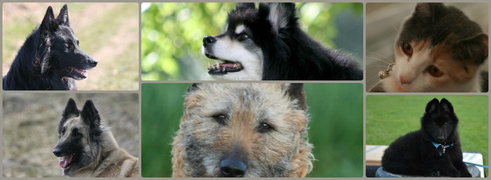 TORNARSUK's Belgian Shepherds & Lapinkoira
