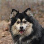 Finse lappenhond Kira