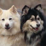 Finse lappenhonden Kira & Esto
